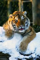 tiger in the snow 2 by mia95