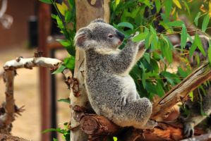 Epicurian Koala chooses only the best leaves! by Celem