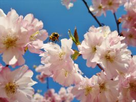 Bee Flying to Cherry Blossom by johnyquest31