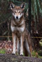 April the female red wolf by Aries18o18