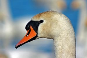 Mute Swan by BlonderMoment