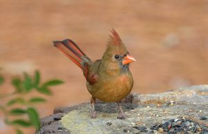 Female Cardinal 12-19-14 by Tailgun2009