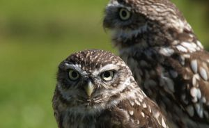 Little Owls by mk-thommo