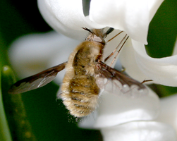 Large Bee Fly by ShadeeWolf