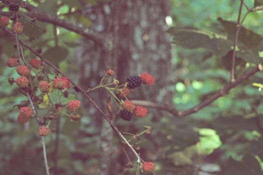Wild Blackberries by concise1