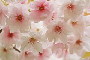 Blossom by George---Kirk