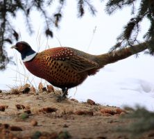Ring Neck Pheasant by sgt-slaughter