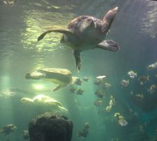 green sea turtle by abcdefoxx