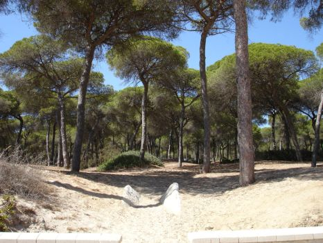 Pine Forest by the Beach by amylynphoto