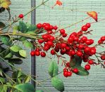 Red Berries 2 by Humble-Novice