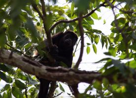 Howling Monkey by luckyseven11779