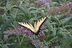 Butterfly Bush 4 by Singing-Wolf-12