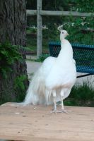 White Peacock by SiberianClover-Stock