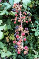 Blackberries by TheBigDaveC