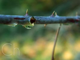 Thorns by Champineography