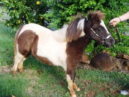 Stunning 6 month old filly - for sale by BrumbyHorseWarrior95