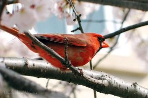 Northern Cardinal by Littography