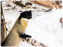 Yellow-Throated Marten I by OrangeRoom