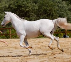 Arab gallop left by Chunga-Stock