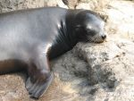 Sea Lions 4 by Polly-Stock