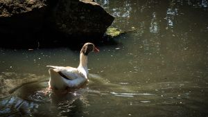duck by pedrocasoa