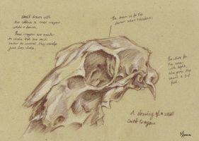 Skull study Conte Crayons by mansarali