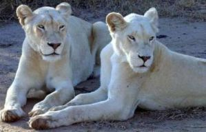 white lionesses by ronankeating
