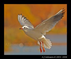 Gull In Golden Glow III by andy-j-s