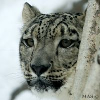 Snow Leopard by MASOCHO