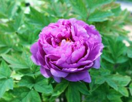 peony by Sophie-Y