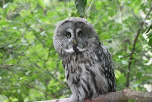 Great Grey Owl 1 by Skarkdahn
