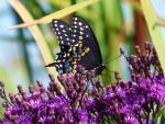 Eastern Black Swallowtail by AppleBlossomGirl