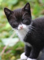 Black And White Kitten 04 by Frozenbullet