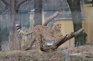 Cheeta 3 by Lakela