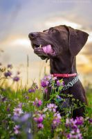 German pointer by Psotkens