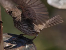 Female House Finch 3 by photographyflower