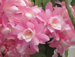 Orchid Cactus Flowers by Kitteh-Pawz
