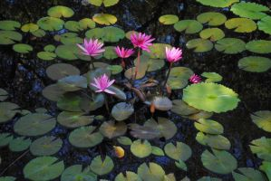 Water lillies spread by irishcompass