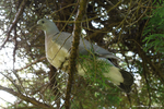 Ring-Necked Dove by Rhiallom