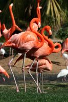 Flamingo Stock 2 by GloomWriter