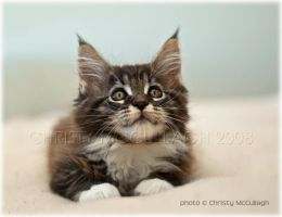 Maine Coon kitten by Mr-Gordons