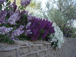 Purple and white spring by maryhelen