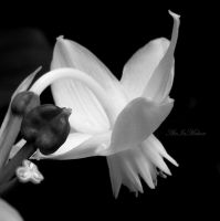 Another White Flower by AirInMotion