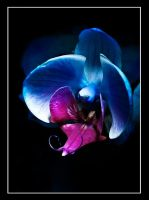blue orchid bud opening up by tea