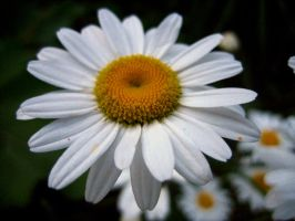 A Daisy by Holly6669666