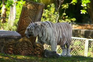 White Tiger by Dustinpg