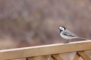White Wagtail by spartout