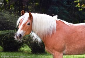 Haflinger Flocke by Nightmare-v