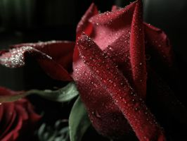 Dewy Dark Rose by VBmonkey26
