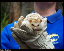 Pygmy hedgehog by Death-Soldier101